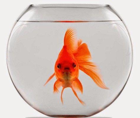 Memoria pesce rosso