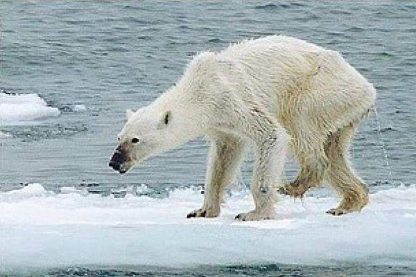 orso bianco denutrito