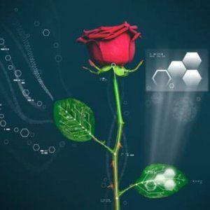 Sboccia la rosa bionica, l'incontro tra elettronica organica e biologia vegetale