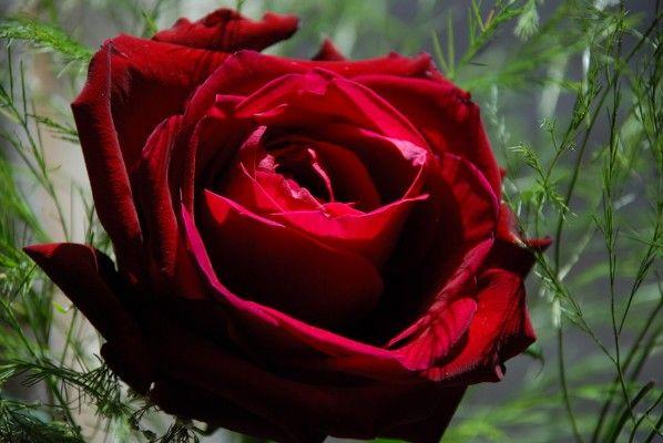 Rosa bionica, nasce dall'incontro tra elettronica organica e biologia vegetale