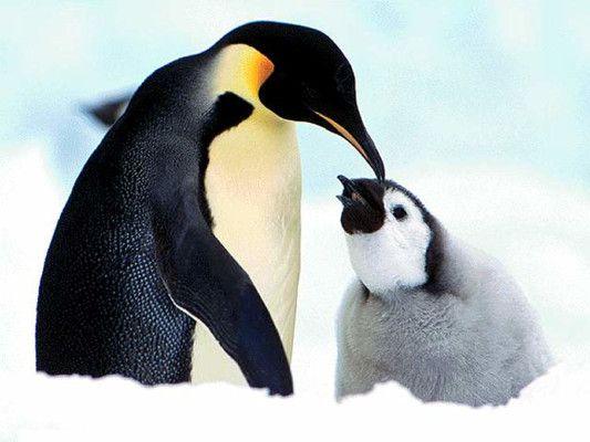 pinguini antartide iceberg