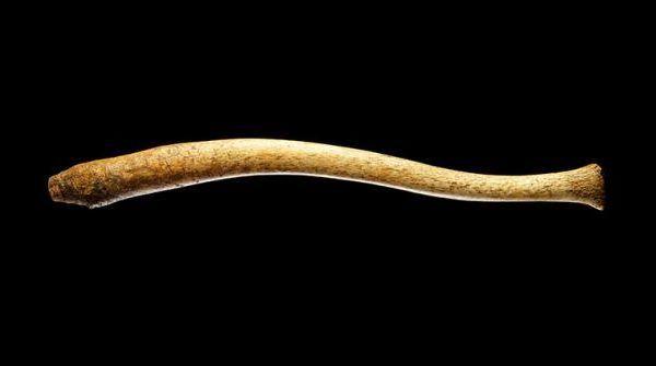 osso del pene