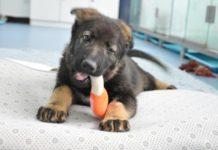 hina-police-dogs-clonati-clonazione-allenamento