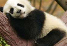 panda-gigante-cina-riconoscimento-facciale