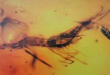gamberetto fossili ambra