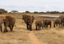 elefanti africani