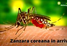 Zanzara coreana: non c'è scampo, ora è anche in Italia ed è pericolosissima
